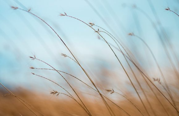 close up image of wheat bending in the wind
