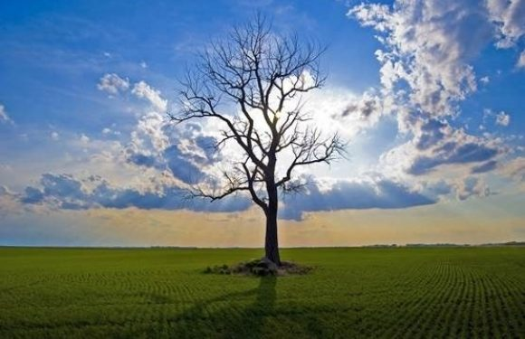 Bare tree standing alone in a field with bright sunlight behind it