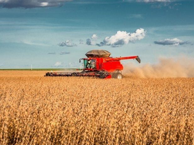 Combine harvesting a bean field
