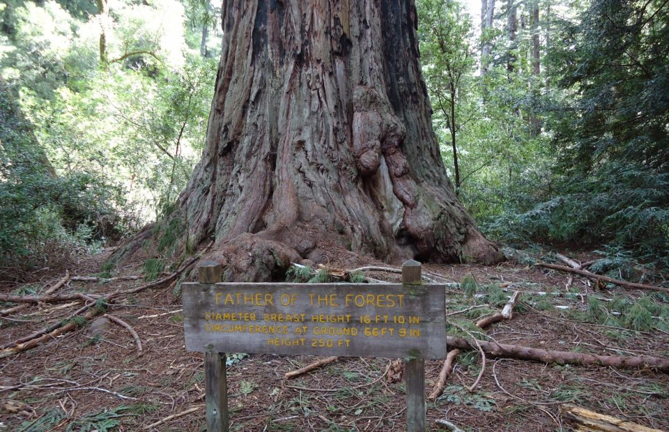 California Redwood Trees Giant Tree Named Father Of The Forest